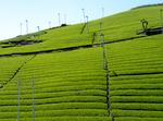 今朝の茶畑